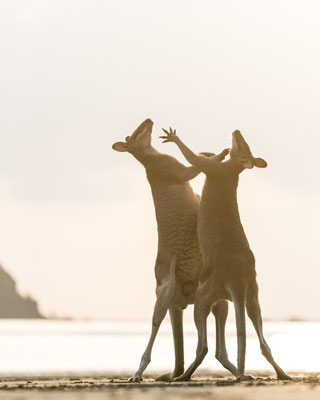 Male wallabies show-fighting at Cape Hillsborough during sunrise, Queensland, Australia