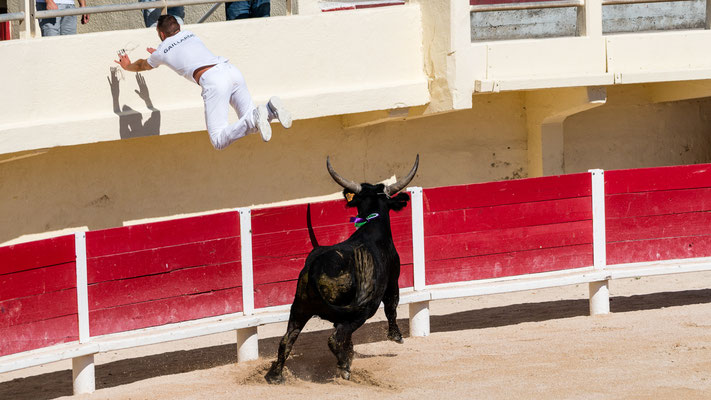 Bull chasing raseurs off arena during Course Camarguaise