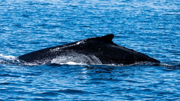 Humpback whale at Platypus Bay