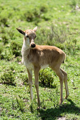 A blesbok calf at Fort Governors Estate, Eastern Cape, South Africa
