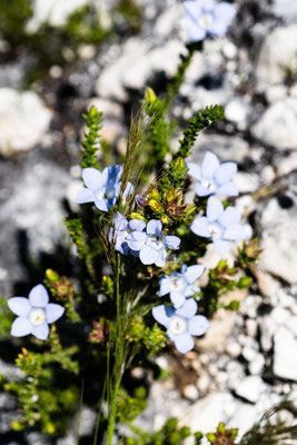 A blue flower at Palmiet River Trail, Kogelberg Nature Reserve, South Africa