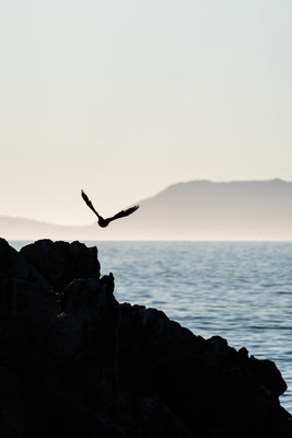 A cormorant flying towards False Bay from the Rooi-Els seal colony, South Africa