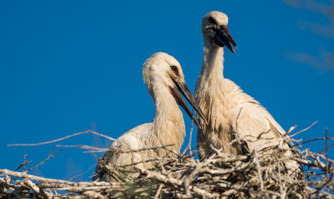 Storks nesting in Provence, France