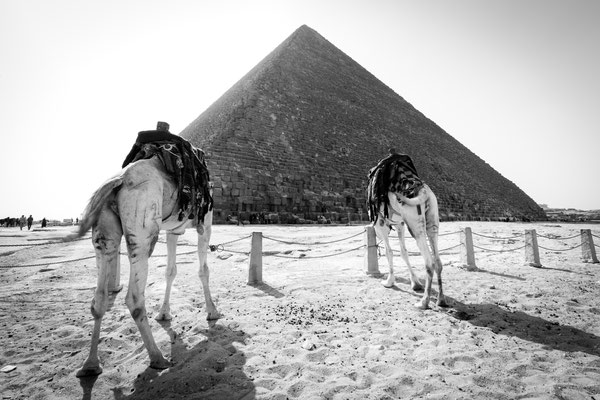 Two camels at Pyramids of Giza