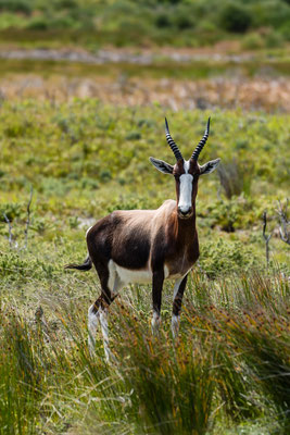 A bontebok at Olifantsbeach in Cape of Good Hope National Park, South Africa