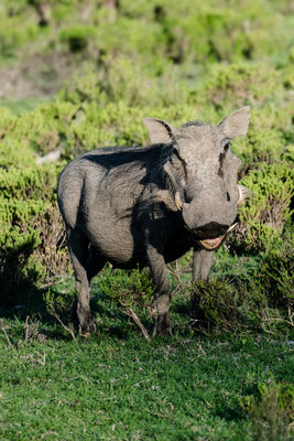 A warthog at Fort Governors Estate, Eastern Cape, South Africa