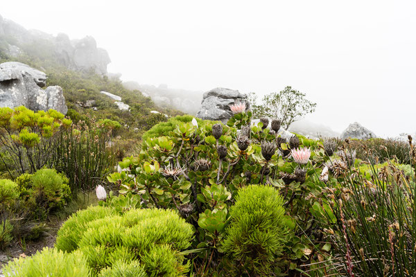 King Protea on the way to Maclear's Beacon on Table Mountain