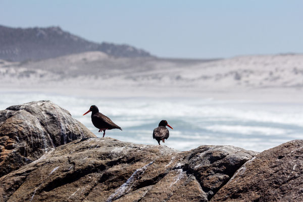 Oystercatchers at the beach in South Africa