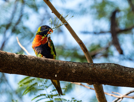 A loris parrot on Magnetic Island, Queensland, Australia