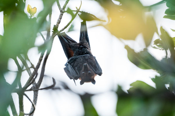 A flying fox hanging upside down in Townsville, Queensland, Australia
