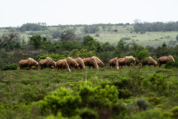 A herd of Golden Wildebeest at Fort Governors Estate