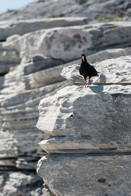 Oystercatcher at Walker Bay Nature Reserve, Western Cape, South Africa