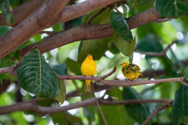 Yellow dress birds on Hawai'i Island, Hawai'i, USA