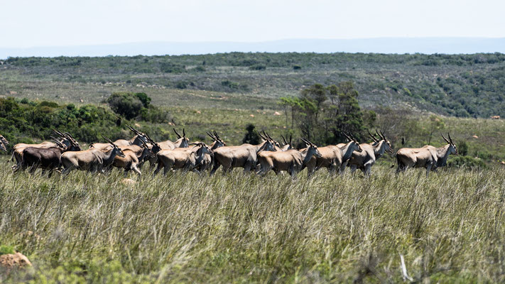 A herd of Eland at Fort Governors Estate