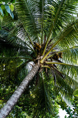 Palm tree at Cape Tribulation beach, Queensland, Australia