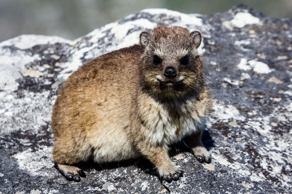 Dassie sitting in the sun on Capetown's Table Mountain
