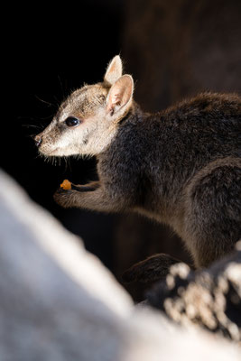 A rock wallaby on Magnetic Island, Queensland, Australia