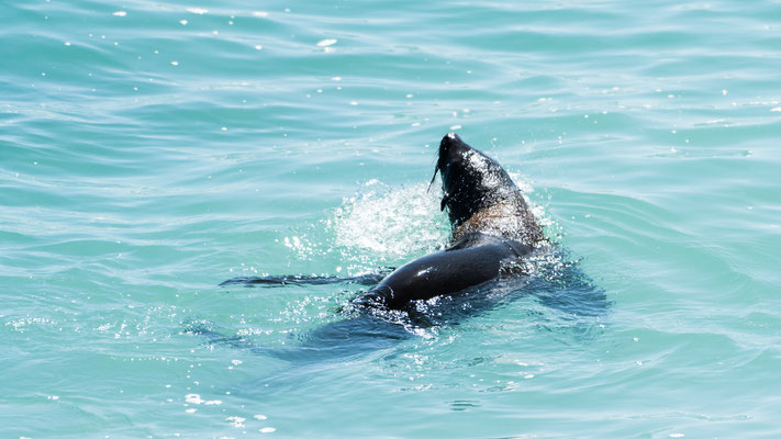 Brown fur seal at Walker Bay Nature Reserve, Western Cape, South Africa