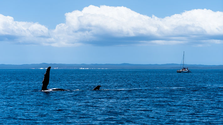 Humpback whale showing pectoral fin before sailing yacht at Hervey Bay