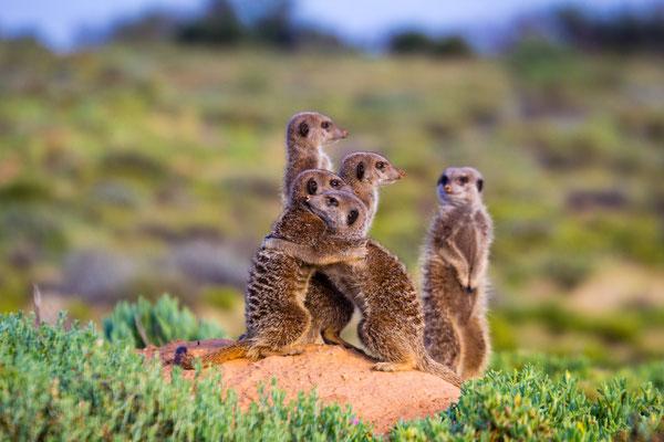 Meerkats near Oudtshoorn during sunrise, South Africa