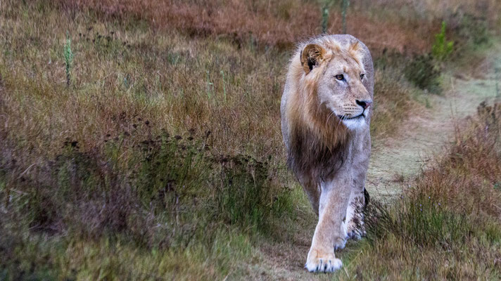 A male lion at Shamwari Private Game Reserve , South Africa