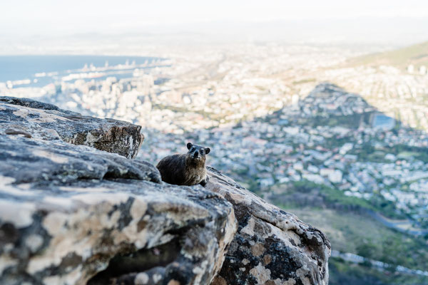 Dassie sitting in front of the Capetown city bowl