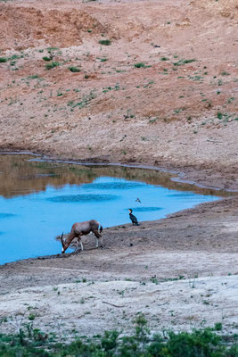 A Blesbok drinking next to a cormorant at Fort Governors Estate