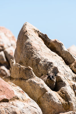 A dassie sitting on a rock in Rooi-Els, South Africa