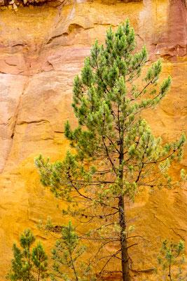 Tree at Sentier des Ocres