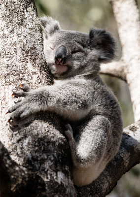 Koala hugging a tree on Magnetic Island, Queensland, Australia