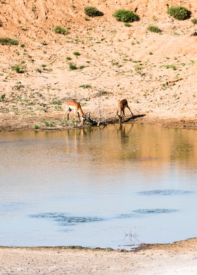 Impala drinking at water dam at Fort Governors Estate