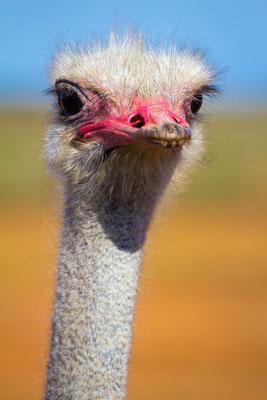 A male ostrich in South Africa