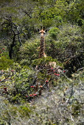 A Giraffe at Fort Governors Estate, Eastern Cape, South Africa