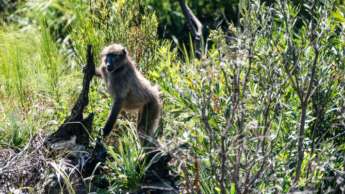 A baboon at Palmiet River Trail, Kogelberg Nature Reserve, South Africa