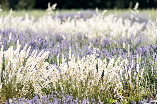 Lavender fields around the Sault area, Provence