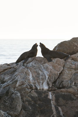 Two seals at Rooi-Els rocky shore line, South Africa