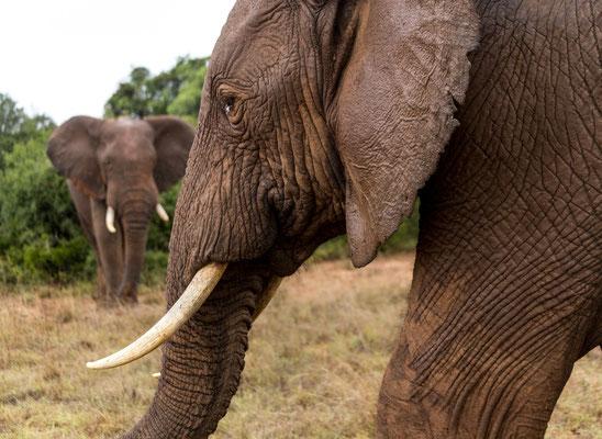 An elephant bull at Addo Elephant National Park, South Africa