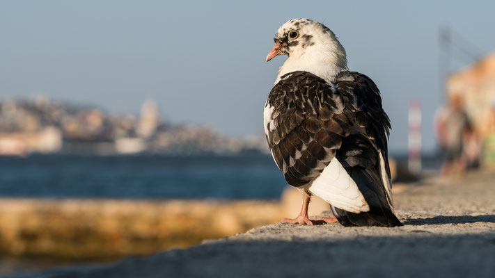 A dove opposite Lisbon at the Tejo river, Portugal