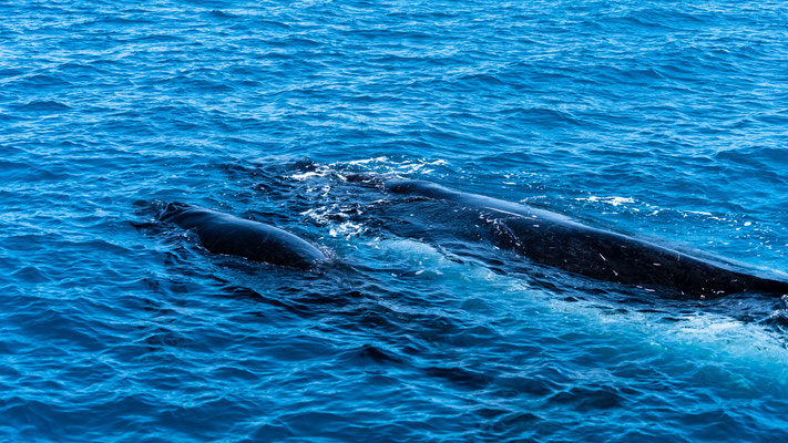 Mother and calf of Humpback whales at Platypus Bay