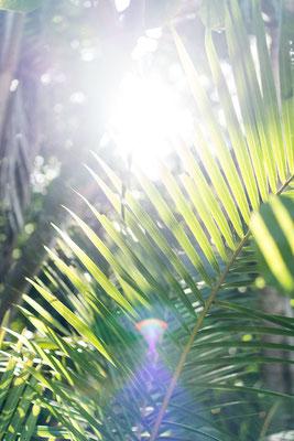 Palm tree leaves at Cape Tribulation beach, Queensland, Australia