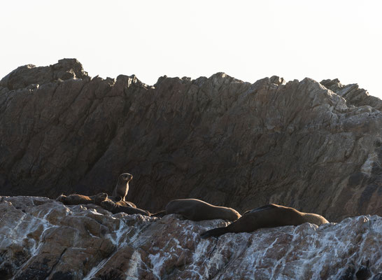 Seals laying at Rooi-Els rocky shore line, South Africa