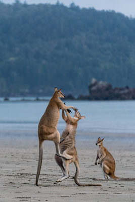 Male wallabies show-fighting at Cape Hillsborough, Queensland, Australia