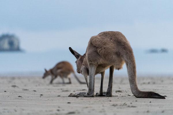 A grey kangaroo and a wallaby at Cape Hillsborough beach, Queensland, Australia