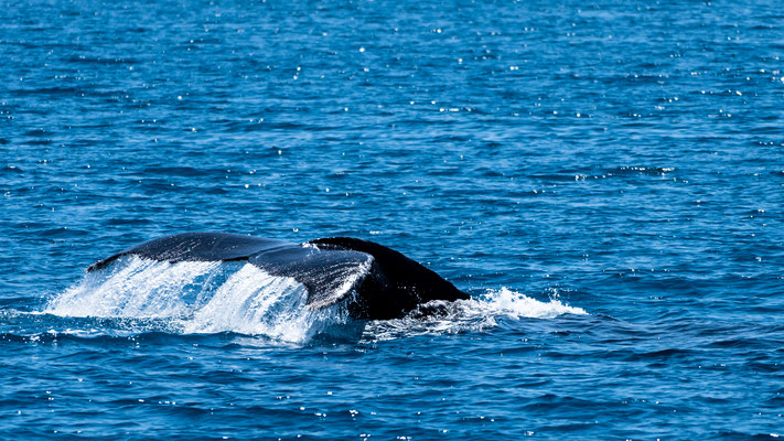 Fluke of Humpback whale at Platypus Bay