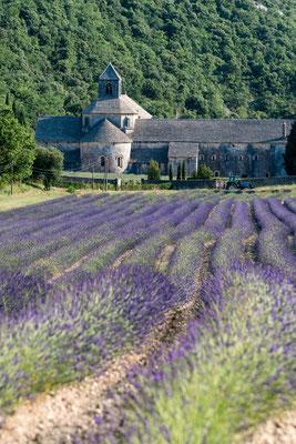 Lavender fields at Abbaye de Senanque