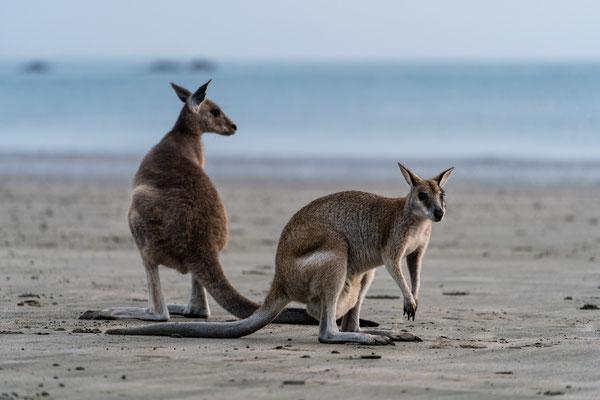 Wallabies at Cape Hillsborough beach, Queensland, Australia