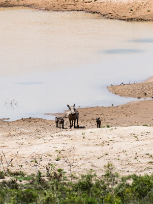 Warthog mother with its piglets at a water dam