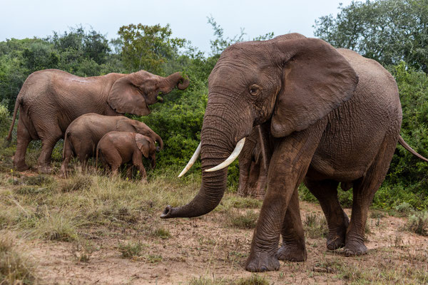 Elephant bull passing more elephants at Addo Elephant park, South Africa