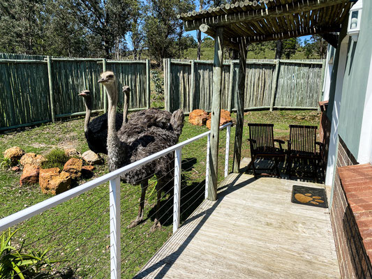 Three Ostrich at the Dam Cottage at Fort Governors Estate