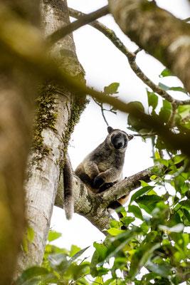 A tree kangaroo in Queensland, Australia